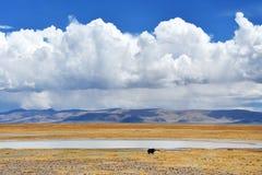 Kina Tibet Yaks betar på den tibetana platån i Trans.-Himalayas nära sjön Teri Tashi Nam Co i Juni fotografering för bildbyråer