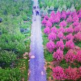 Kina tunnländer av begonian blommar i det Shaanxi landskapet Kina Royaltyfria Bilder
