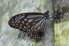 Kinabalu Tiger Butterfly Immagine Stock Libera da Diritti