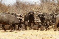 Kindżał chłopiec; Afrykański przylądka bizon obraz stock