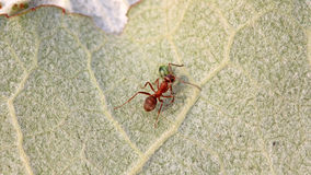 Mercerized brown forest ants. A kind of ants named mercerized brown forest ants Royalty Free Stock Photography