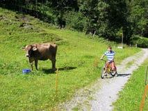 Kind auf einem Fahrrad eine Kuh aufpassend weiden zu lassen Lizenzfreies Stockbild
