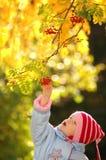 Kind betrachtet Beeren der Vogelbeere Lizenzfreies Stockfoto