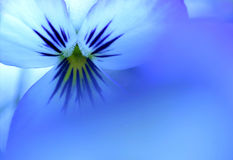 Kind of Blue. Photo of a blue pansy, shot through a bloom of another pansy bloom for a very soft effect vector illustration