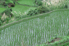 Rice and grain crops Stock Photo