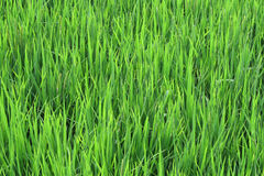 Rice and grain crops Royalty Free Stock Image