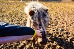 Kind, das ein Pony streicht stockfotografie