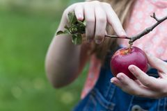 Kind, das organische Äpfel sammelt Stockbild