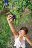 Kind, das Pflaumen von einem Baum erreicht Lizenzfreie Stockfotografie