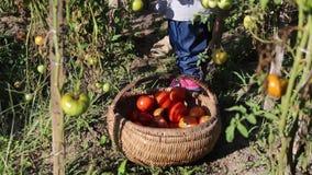 Kind, das zerrissene Tomaten in einen hölzernen Korb einsetzt stock video footage