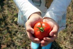 Kind die rijpe tomaat houden Stock Afbeeldingen