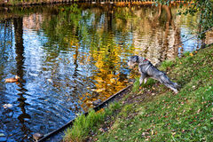 Kind dog. A city dog hunting for ducks Royalty Free Stock Photo