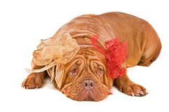 Kind Dog With Two Bows Stock Photo