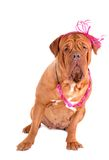 Kind Dogue de Bordeaux avec une proue photographie stock