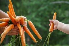 Kind en moedershanden die een bundel van wortelen houden royalty-vrije stock foto