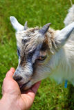 Kind goat. Kiss of lovely kind baby goat Stock Photography