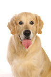 Kind golden retriever Royalty Free Stock Images