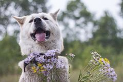Kind happy smiling dog of Japanese akita inu with sticking out tongue in the forest in summer among wildflowers on a natural green. A kind happy smiling dog of Royalty Free Stock Photos