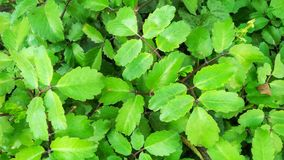 Patharchat Ka Patta. This is kind of herbal plant that is mostly using for kidney Problem. It& x27;s daily uses can Remove kidney stones or concretion in few stock photos