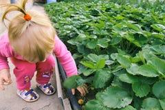 Kind het plukken aardbeien De jonge geitjes plukken vers fruit op organisch aardbeilandbouwbedrijf Stock Foto's
