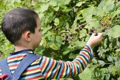 Kind het plukken braambessen Stock Foto