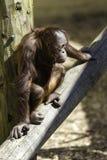 Kind/Kind Bornean Orangutam, das auf einem Klotz-Holz sitzt Lizenzfreie Stockfotos