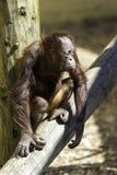 Kind/Kind Bornean Orangutam, das auf einem Klotz-Holz sitzt Lizenzfreie Stockfotografie