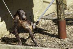 Kind/Kind Bornean Orangutam, das an einem ein Sonnenbad nehmenden Seil hängt Lizenzfreies Stockbild
