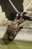 Kind/Kind Bornean Orangutam, das an einem Seil hängt, um w zu trinken Lizenzfreies Stockfoto