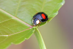 A kind of lady beetles Royalty Free Stock Photos