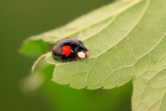 A kind of lady beetles Royalty Free Stock Images