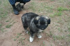 Kind little puppy with white paws - the son of a big shepherd stock photo