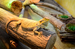 A kind of lizard in the cage. Stock Photography
