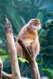 Javan lutung on a tree. This kind of old world monkey can be found in Java Stock Image
