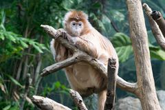 Javan lutung on a tree. This kind of old world monkey can be found in Java Stock Photos
