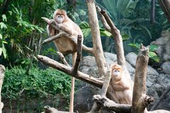 Javan lutungs on a tree. This kind of old world monkey can be found in Java Stock Photo
