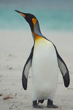 Kind Penguin on a Sandy Beach Stock Photos