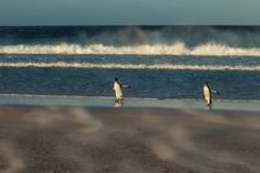 Kind penguins coming to shore on a windy day. In Falkland islands Royalty Free Stock Photography