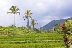 Kind on rice terraces, Bali stock photos