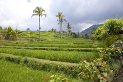 Kind on rice terraces, Bali, stock images