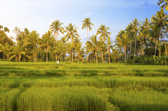 Kind on rice terraces, Bali royalty free stock photography