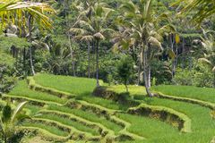 Kind on rice terraces, Bali, Indonesia royalty free stock image