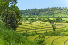 Kind on rice terraces, Bali, Indonesia Royalty Free Stock Photos