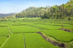Kind on rice terraces, Bali, Indonesia Royalty Free Stock Photography