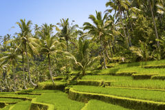 Kind on rice terraces, Bali, Indonesia Stock Image