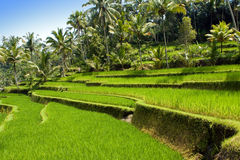 Kind on rice terraces, Bali, Indonesia stock photography