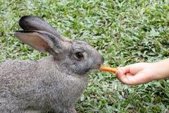 Kind-` s Hand, die ein Kaninchen mit Karotte einzieht stockbilder