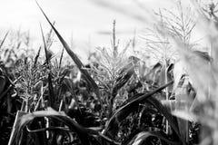 Kind-` s Weg im Mais das Mädchen im Mais abenteuer Stockfoto