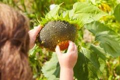 Kind schält die Sonnenblume, die auf dem Gebiet wächst stockfotos