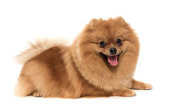 The kind spitz-dog stock photo